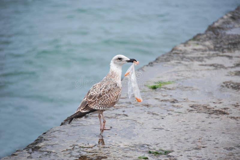 Seagull med plastpåsen arkivfoto