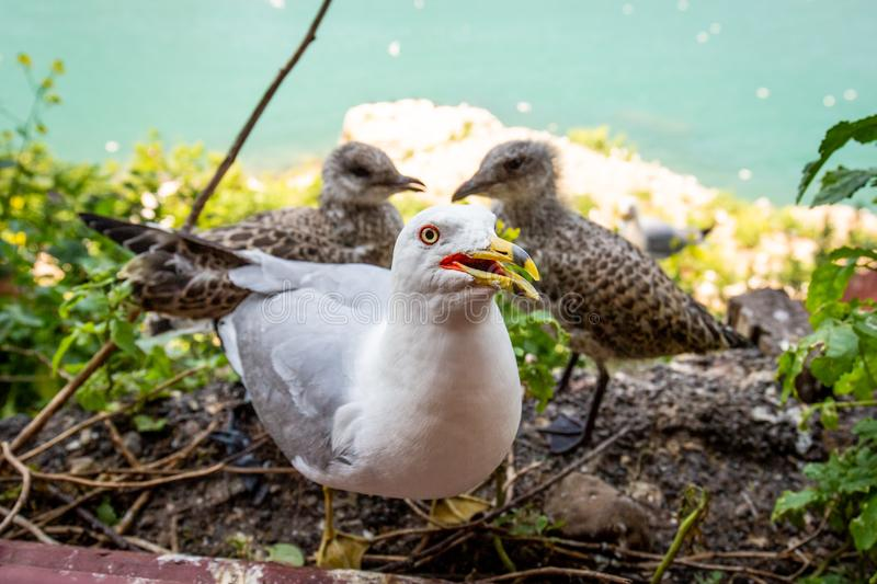 Seagull mom protecting her two chicks parenting royalty free stock image
