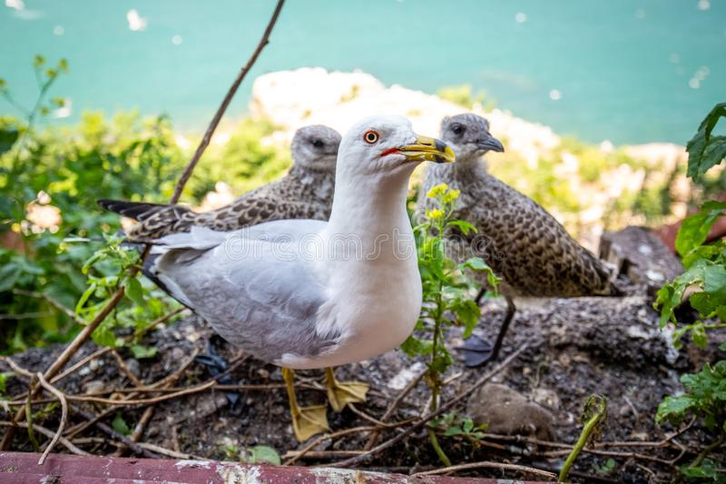 Seagull mom protecting her two chicks parenting stock image