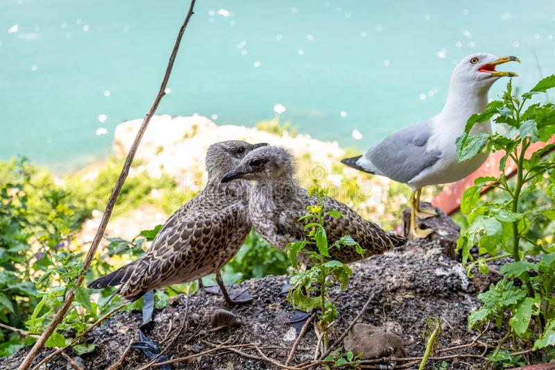 Seagull mom protecting her two chicks parenting stock photography