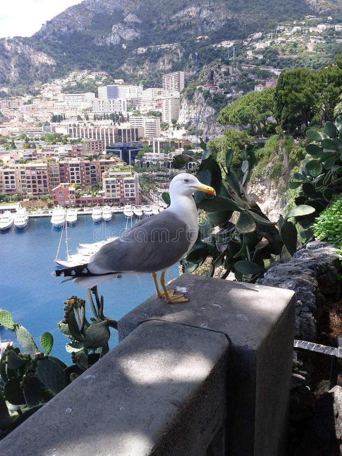 Seagull in Montecarlo stock photo