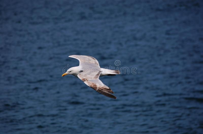 Seagull morzem zdjęcie stock
