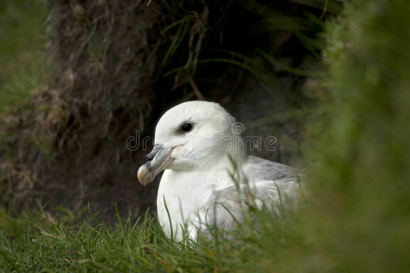 Download Seagull On Mykines, Faroe Islands Stock Photo - Image of creature, horizontal: 21160902