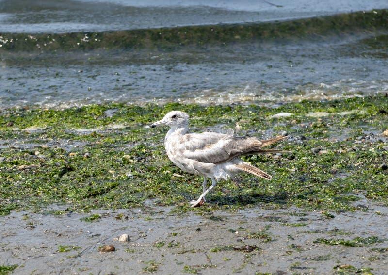 Seagull na Alki plaży, Seattle, Waszyngton zdjęcia stock