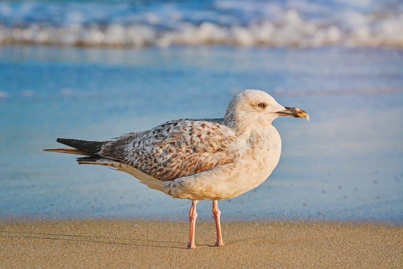 Seagull na brzeg zdjęcia royalty free