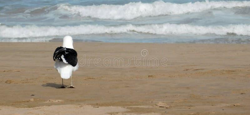 Seagull na brzeg obrazy stock