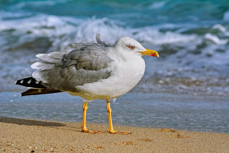 Seagull na brzeg fotografia stock