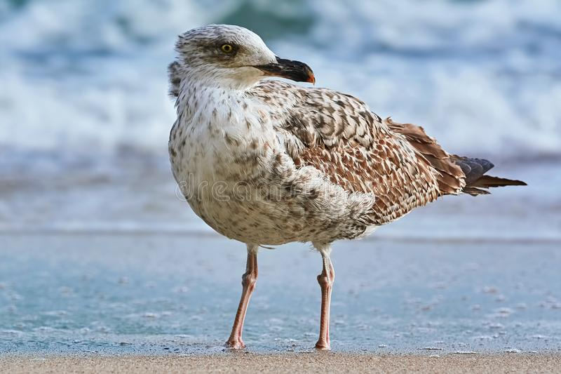 Seagull na brzeg zdjęcie stock