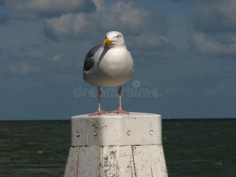 Seagull na cumownicie zdjęcia stock