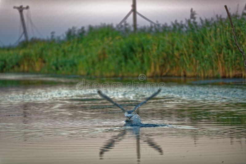 Seagull na Danube delcie obrazy stock