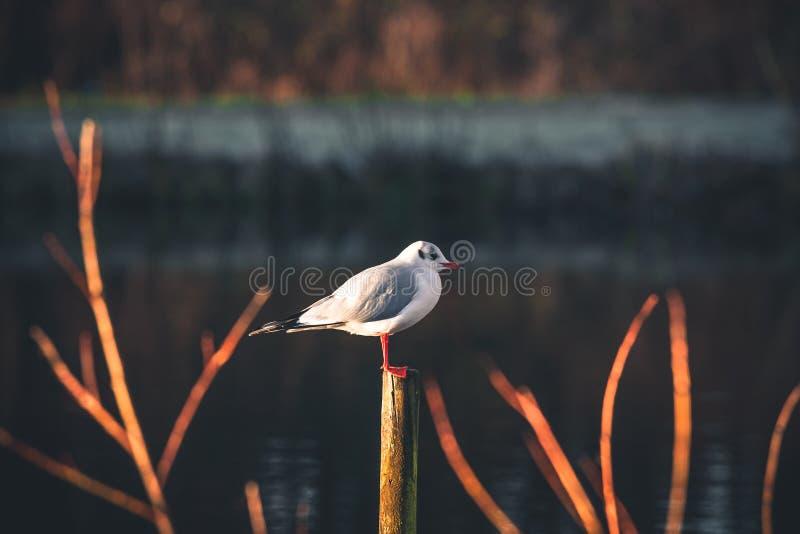 Seagull na drewnianej poczta fotografia stock