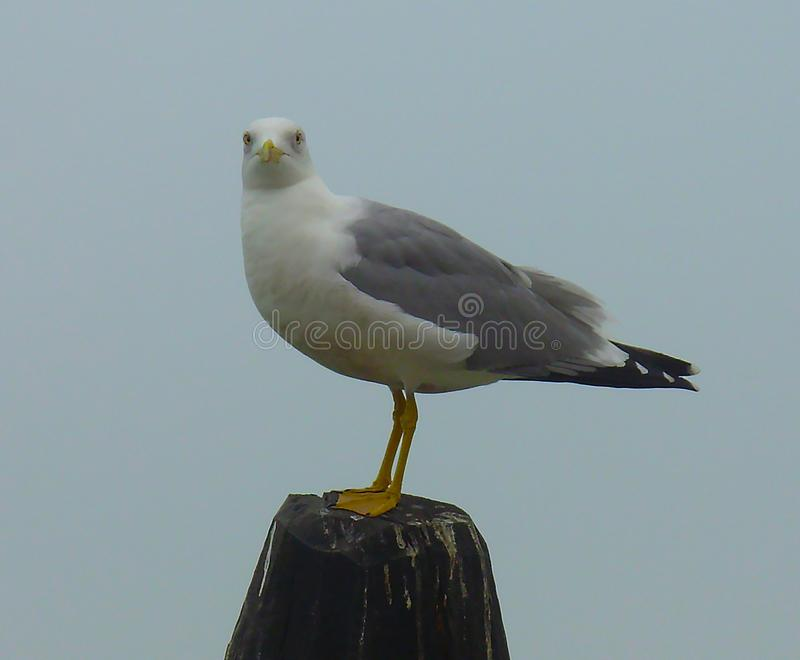 Seagull na drewnianym filarze fotografia royalty free