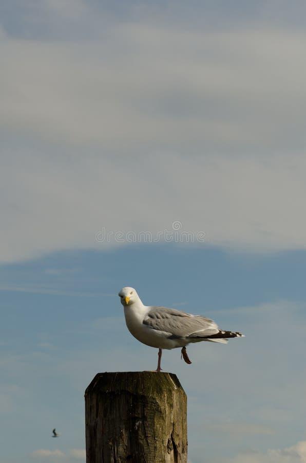 Seagull na filarze zdjęcie stock