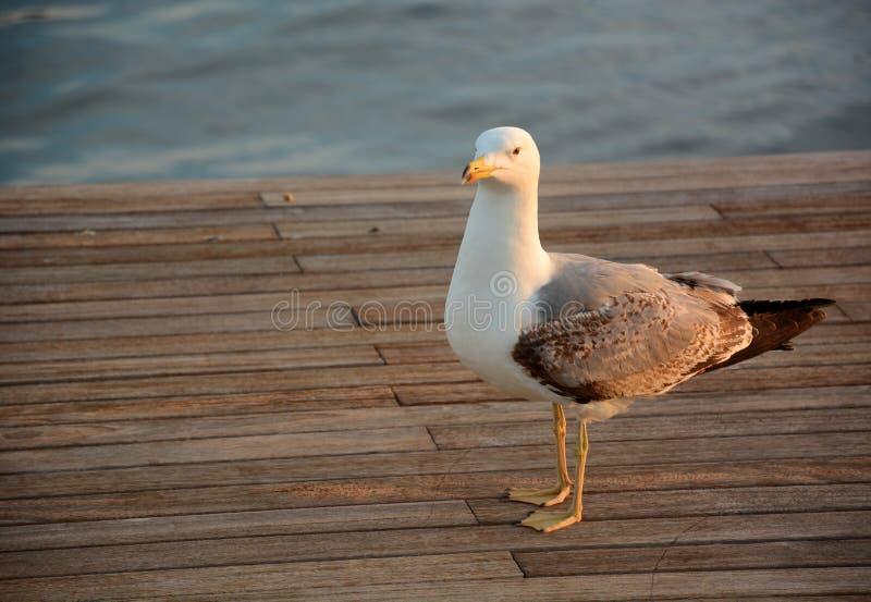 Seagull Na molu zdjęcie royalty free