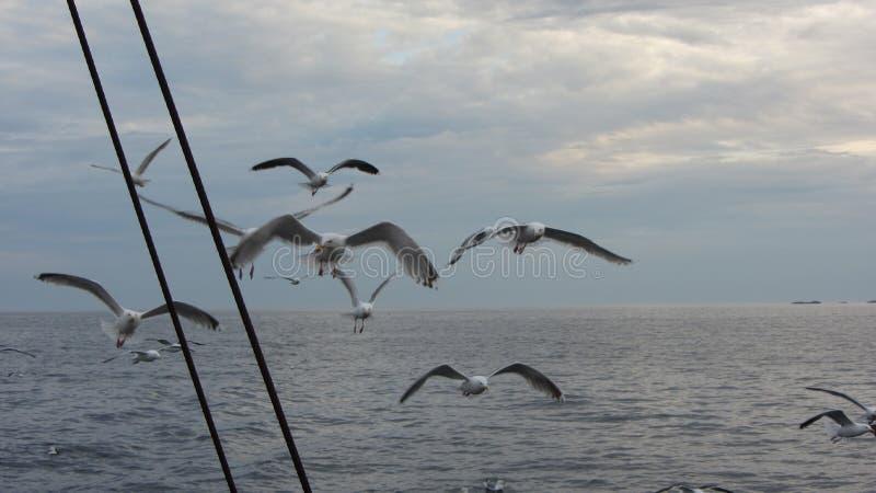 Seagull na morzu obrazy royalty free