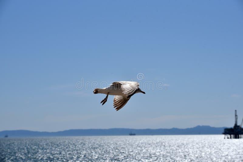 Seagull na morzu platformą wiertniczą fotografia royalty free