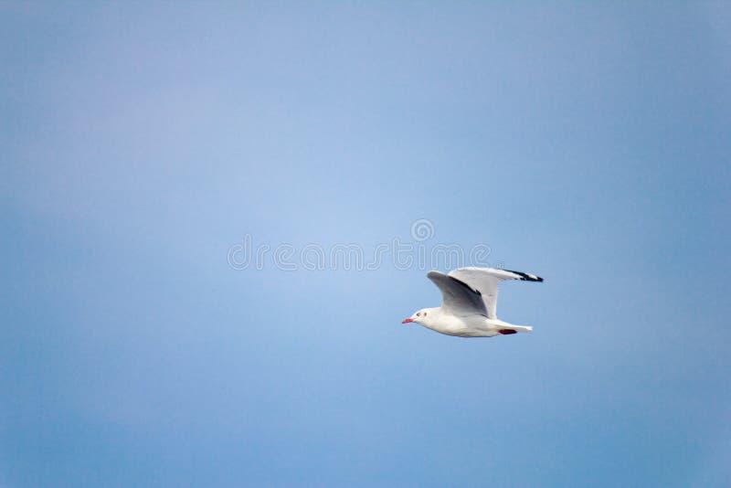 Seagull na niebie zdjęcie stock