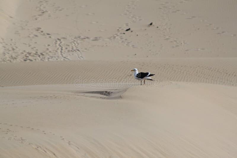 Seagull na piasek diunie obraz royalty free