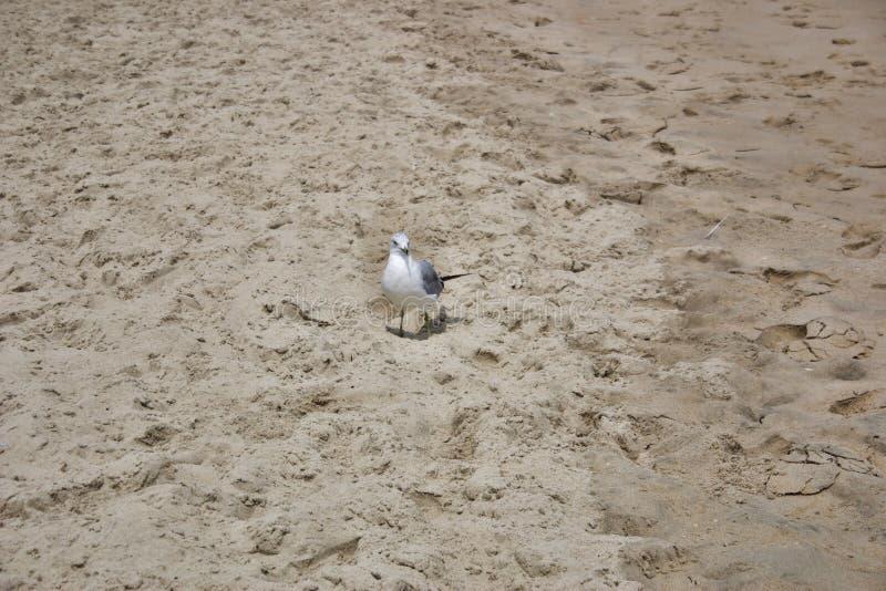 Seagull na piaskowatej plaży fotografia stock