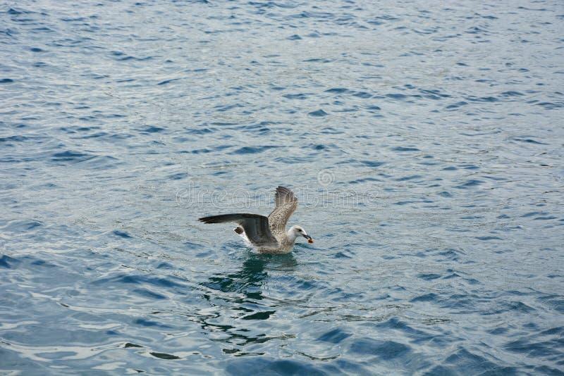 Seagull nad morzem łowił zdjęcie royalty free
