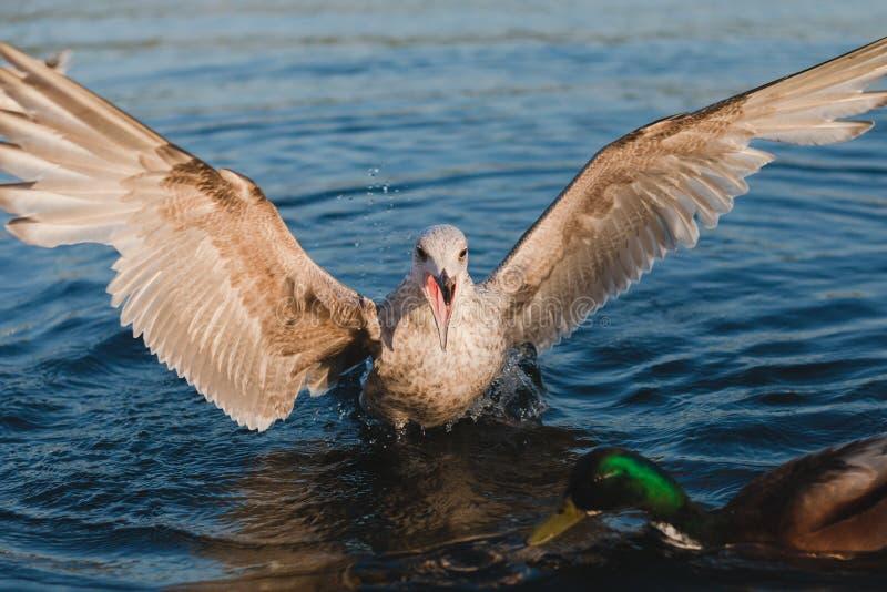 Seagull napadania żeńskiej kaczki kaczki męska błękitne wody obraz royalty free