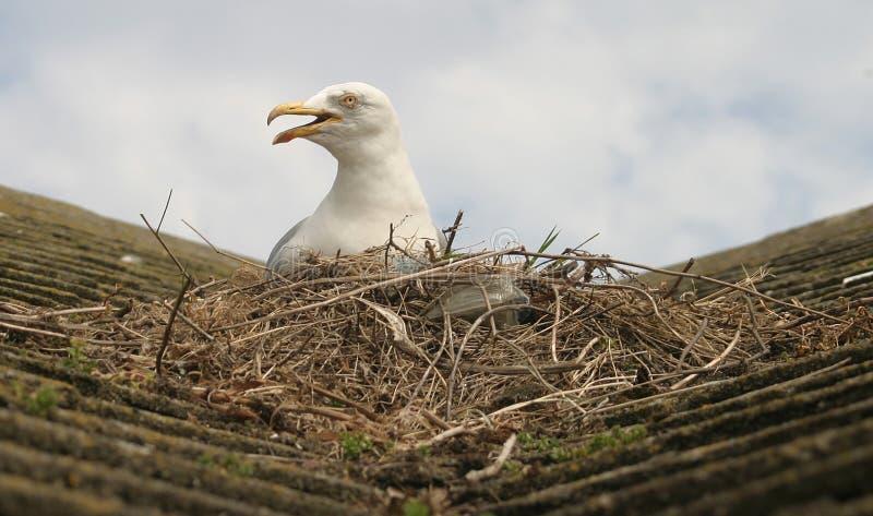 Seagull & nest