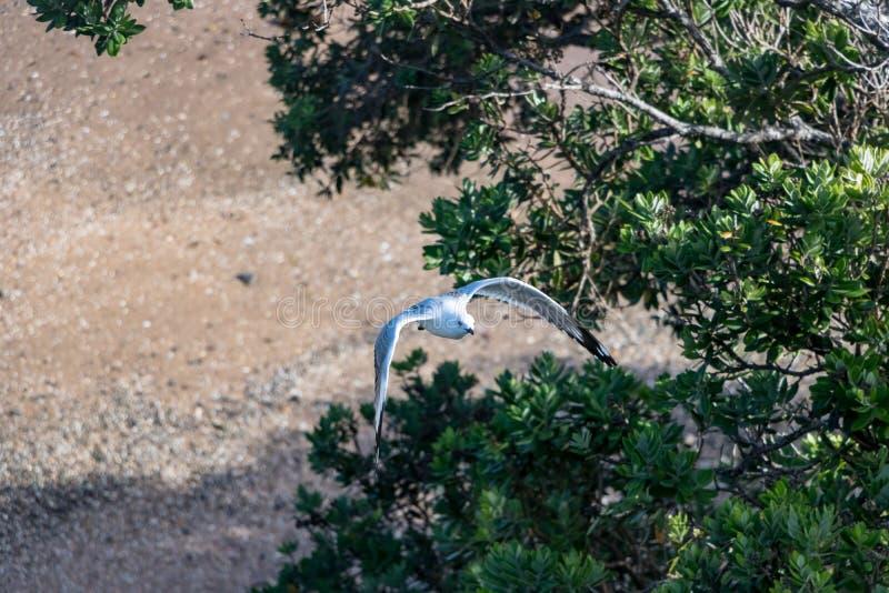 Seagull, Flying Above New Zealand Pohutukawa Tree. Seagull in new zealand seaside royalty free stock photo