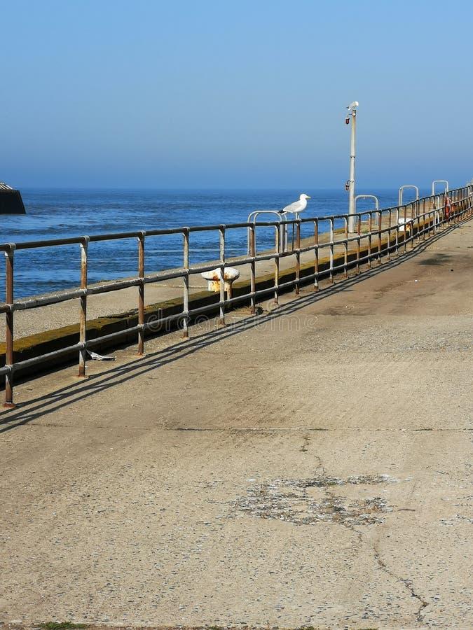 Seagull Norfolk arkivfoton