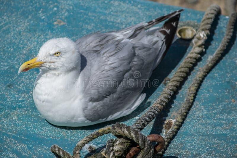 Seagull obsiadanie na łodzi obrazy royalty free