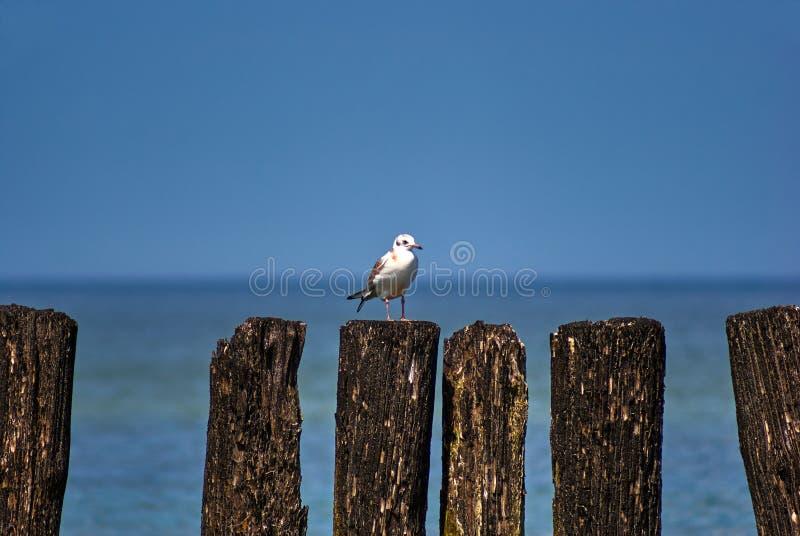 Seagull obsiadanie na starym drewnianym falochronie na morzu bałtyckim fotografia stock