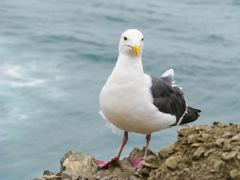 Seagull and Ocean stock image