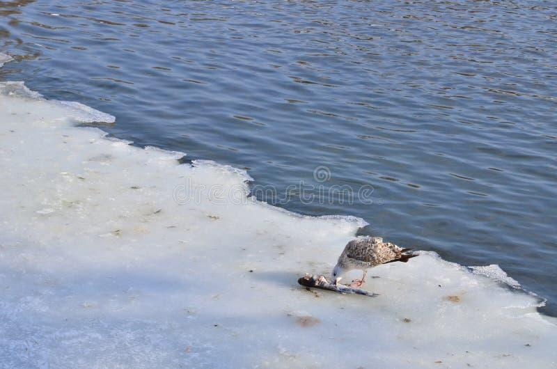 Seagull och fisk royaltyfri foto