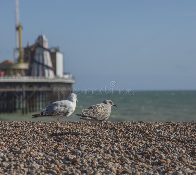 Seagull och kiselstenar på en strand - Brighton, England, UK arkivbilder