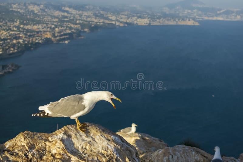 Seagull odpoczywa potężnego rechot i robi zdjęcia stock