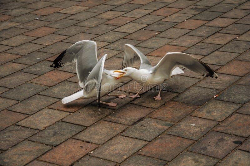 Download Seagull Odprowadzenie Na Ceglanym Chodniczku W Chmurnym Dniu Przy Haga Obraz Stock - Obraz złożonej z nabrzeżny, puszysty: 106914053