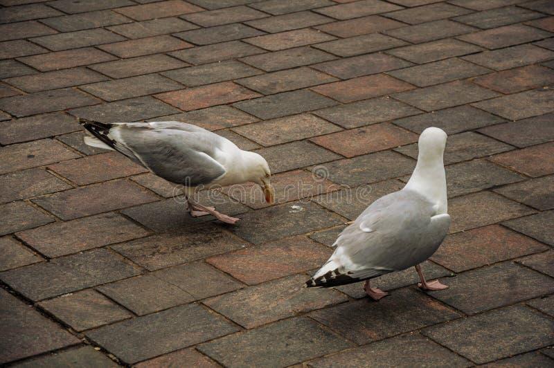 Download Seagull Odprowadzenie Na Ceglanym Chodniczku W Chmurnym Dniu Przy Haga Obraz Stock - Obraz złożonej z holland, frajer: 106914197