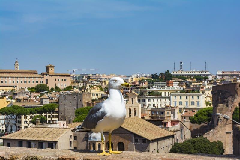 Seagull ogląda Rzym Ptak w Romańskim forum historyczny centrum miasta, Roma, Włochy zdjęcie royalty free