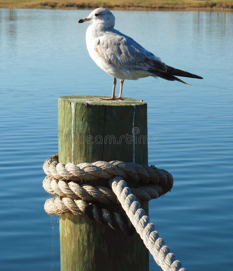 Free Seagull On A Dock Stock Photography - 13106782