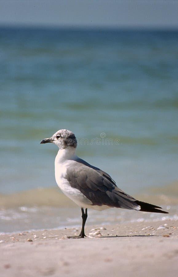 Free Seagull On Beach Stock Image - 11013481