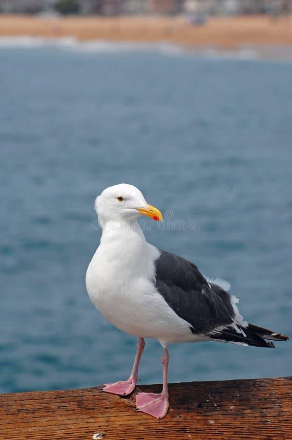 Free Seagull On Pier Stock Photo - 11138600