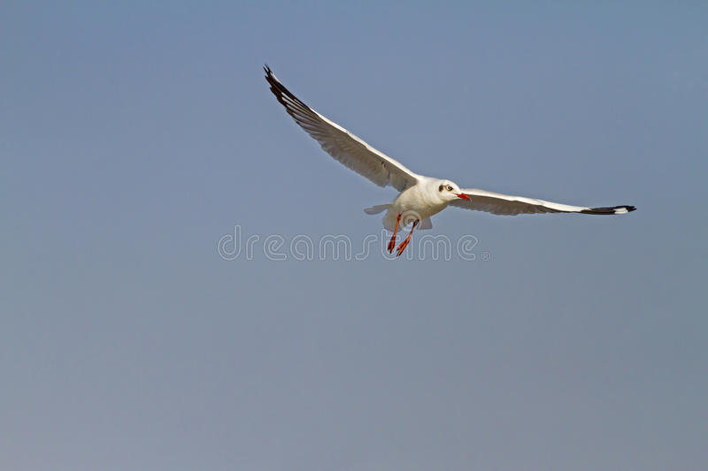 Seagull one fly show royalty free stock photos