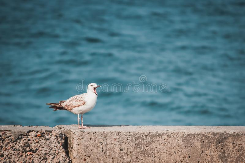 Seagull with open beak sits on the shore. A seagull with an open beak sits on the shore, on a concrete slab, lit by the spring sun, against the background of the royalty free stock photography