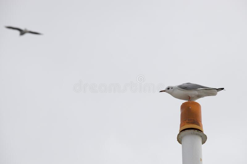 Seagull On The Orange Warning Lamp. In The Background, Indoor Air And  Flying Seagull Are Blurred. Close Up Stock Photo - Image Of Nature, Animal:  180878994