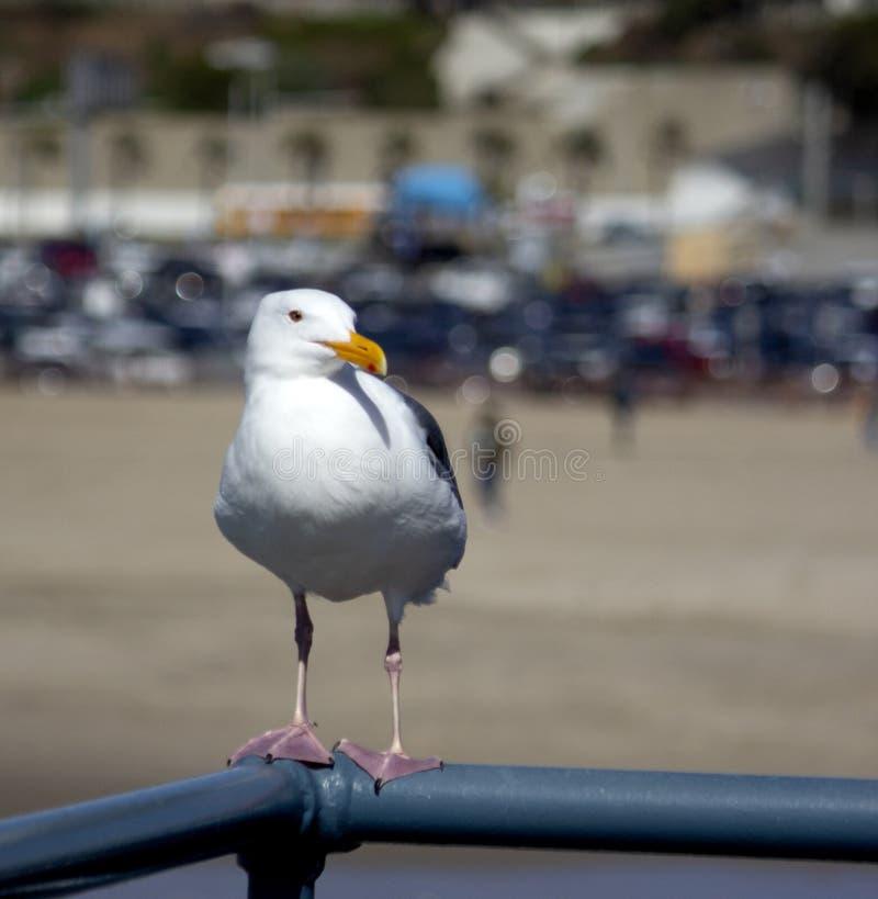 Seagull Ostro protestować Patrzeć Prawy na metalu zdjęcia stock