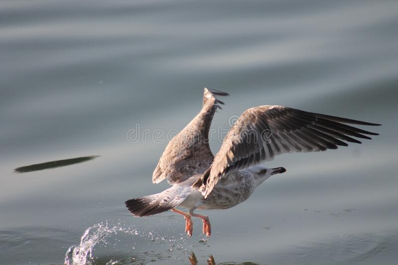 Seagull over water stock photo
