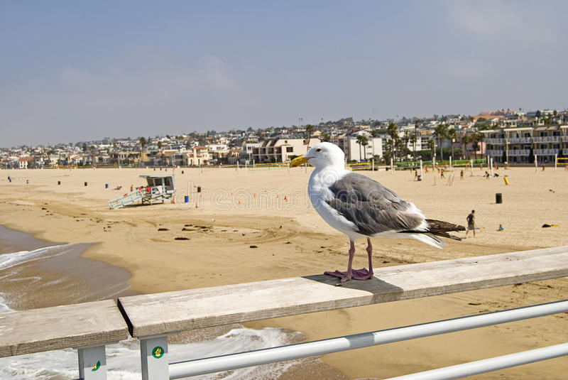 Seagull overseeing Hermosa Beach royalty free stock images
