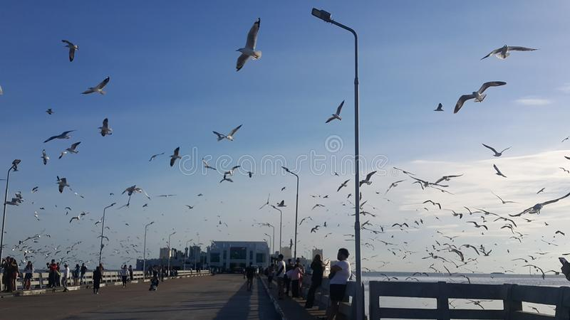 Seagull på Bangpu i Thailand arkivfoto