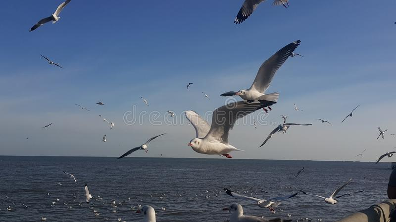 Seagull på Bangpu i Thailand arkivbild