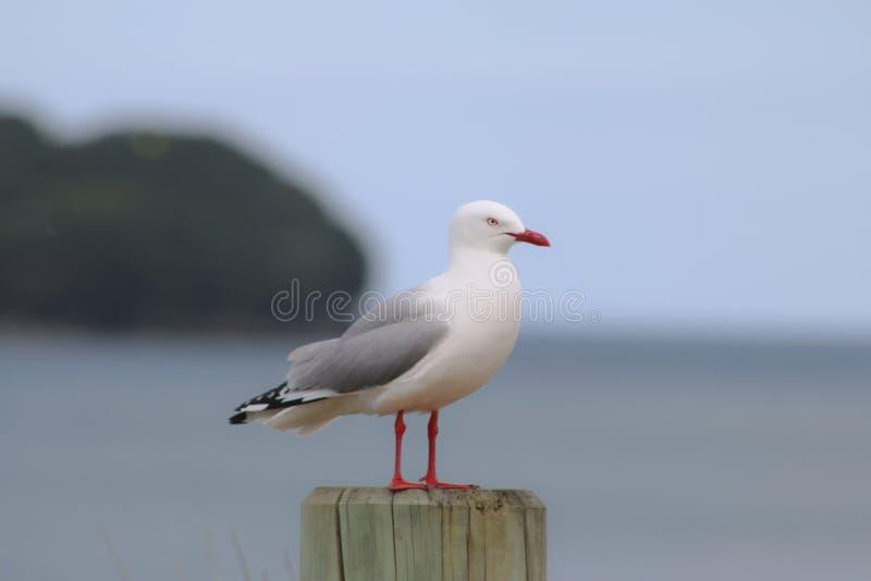 Seagull på den väntande på matställen för beachpole arkivfoto