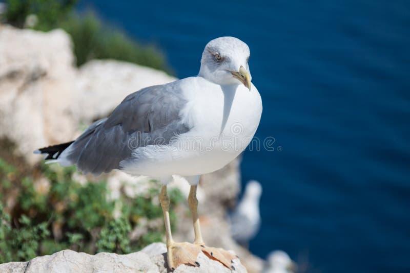 Download Seagull På En Bakgrund Av Havet Fotografering för Bildbyråer - Bild av gannet, sitt: 37348073